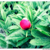 Pfingstrose-Paeonia officinalis